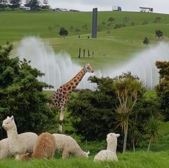 Such an amazing day out at Gibbs Farm sculpture park with General Collective artists. Mind blowing giant sculptures on the Kaipara harbour with live giraffes you can feed leaves to, zebra, bison, goats, llama and more. Free public entry, Thursday only, bookings well in advance required. Private property of a multi millionaire with an extremely grand vision.