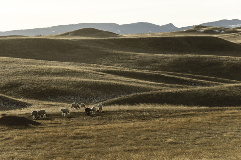 Sheep-in-Wyoming-hills-768x512